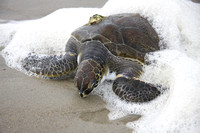 Ocracoke sea turtle